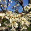 Frostgefahr für die Blüten