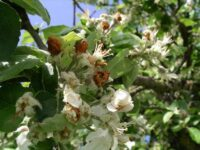 Apfelblütenstecher